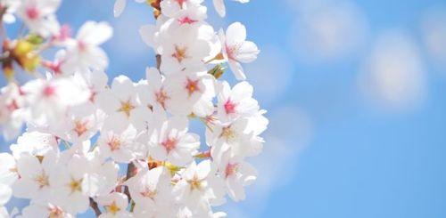 桜さくらSAKURA