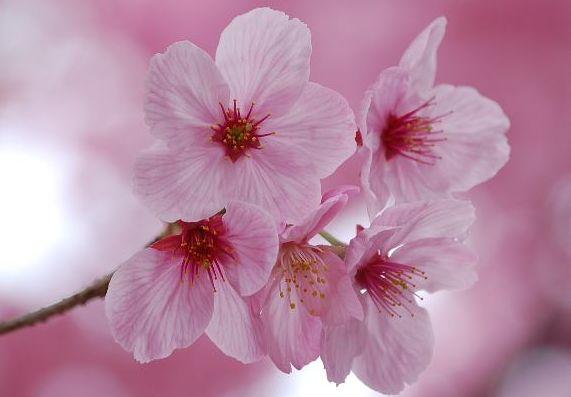さくら・桜・SAKURA