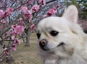 犬の入院後の梅祭り