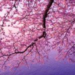 2016年桜開花情報で今を知るアプリ!レジャー&デート春分の日には早咲きする場所は?!