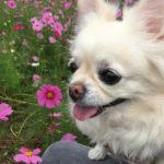犬【マイボーム腺腫】かわいいお顔にメスを入れる怖さ!孫の「先生!信じるよ」の言葉に涙