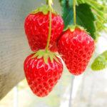 2017年【苺-いちごスイーツお取り寄せ】おいしい!かわいいイチゴの春が来た!