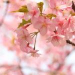 「桜アプリ」全国桜スポット開花の様子がわかる!さくら開花予想マップ!一足先にYouTubeで日本三大桜めぐり!