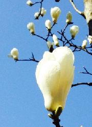 【弥生】ていねいに暮らす-3月のくらしは旬の食材で心と体に活力を!木蓮
