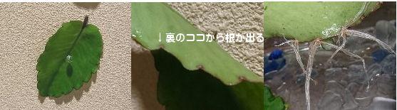葉から葉が?!マザーリーフ(子宝草)は幸福の葉っぱと言われる不思議な植物3