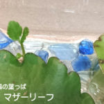葉っぱから葉が?!マザーリーフ(子宝草)は幸福の葉っぱと言われる不思議な植物