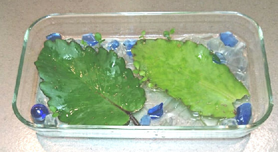 葉から葉が?!マザーリーフ(子宝草)は幸福の葉っぱと言われる不思議な植物4