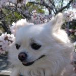 愛犬の若葉の「肛門絞り」お尻歩きが血便・血尿の原因?細菌?