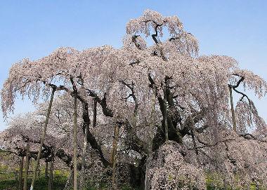 枝垂桜 シダレザクラ