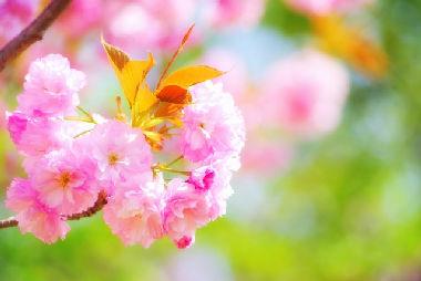 八重桜 ヤエザクラ