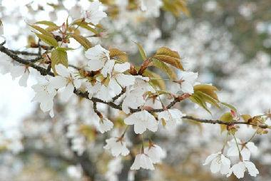 山桜 ヤマサクラ