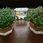 キッチンガーデン-土いらずの水耕栽培は部屋でできる簡単な野菜スプラウト